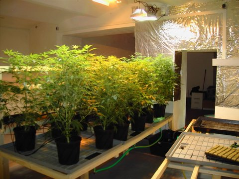 cannabis-motherplants_-_indoor.jpg